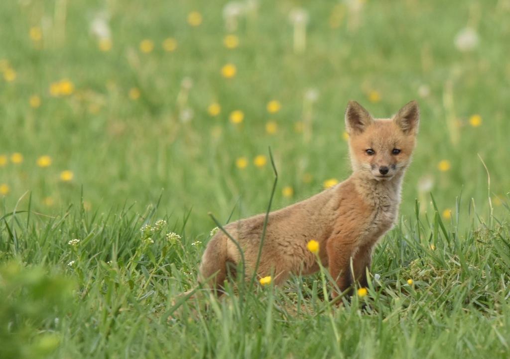 Fox - Ohrstrom